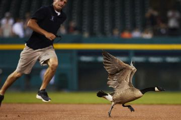 Goose escapes field after holding up Tigers game only to crash into scoreboard