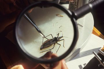 This 'kissing bug' could kill you