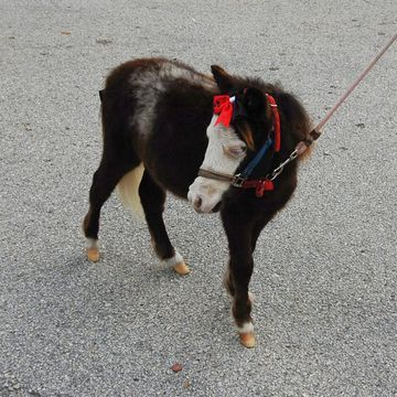Southwest Airlines now allowing mini horses as service animals