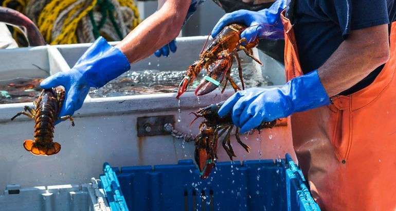 Maine officials: Getting lobsters stoned before killing them is now illegal